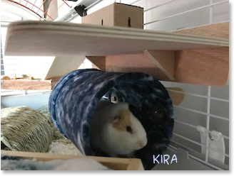 Guinea pig kira fleece tunnel