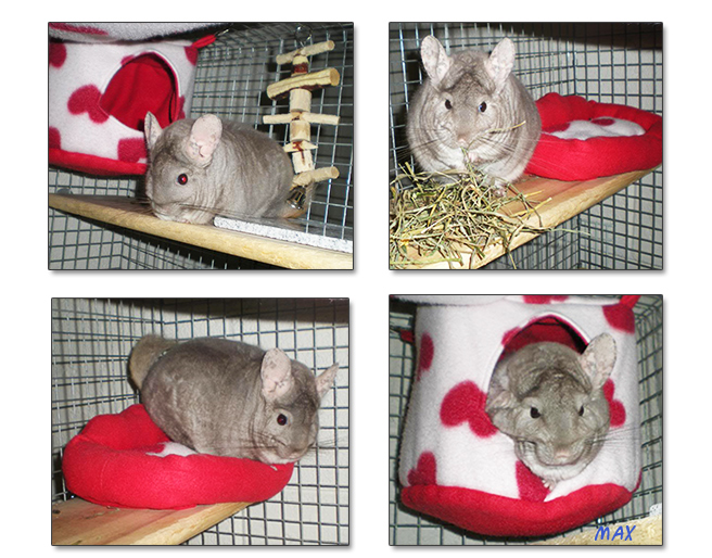 chinchilla Max enjoying fleece accessories