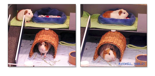 guinea pigs and sofa bed